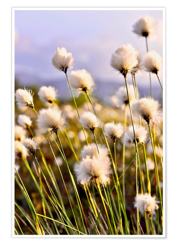 Póster Flowering Tussock Cottongrass