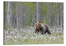 Cuadro de aluminio  European Brown Bear, Finland - Alfred Trunk