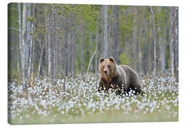 Lienzo  European Brown Bear, Finland - Alfred Trunk