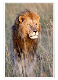 Póster Masai Lion standing in grassland at dawn