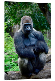 Metacrilato  silverback sitting on tree trunk - imageBROKER