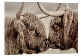 Cuadro de metacrilato  Highland Cattle, cows greeting each other - imageBROKER