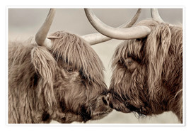 Póster  Highland Cattle, cows greeting each other - imageBROKER