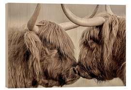 Madera  Highland Cattle, cows greeting each other - imageBROKER