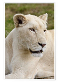 Póster White Lioness