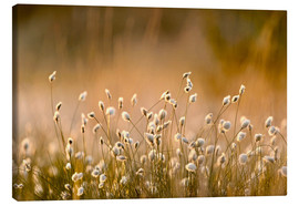 Lienzo  Common Cotton-grass backlit at dawn - FLPA
