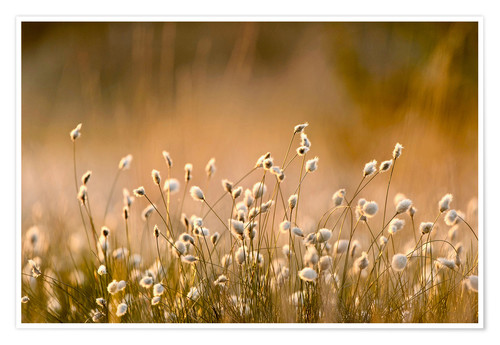 Póster Common Cotton-grass backlit at dawn
