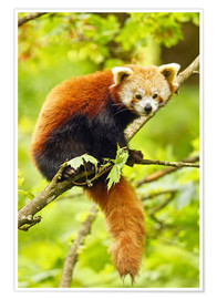 Póster  Red Panda sitting in tree - imageBROKER
