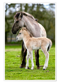 Póster Dülmen pony, mother and foal
