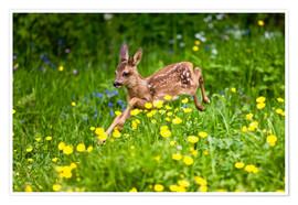 Póster Roe Deer fawn running in flower meadow, Normandy
