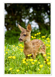 Póster Roe Deer fawn in flower meadow, Normandy