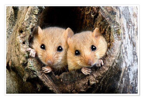 Póster Common Dormouse pair, Normandy