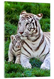 Cuadro de metacrilato  White Tiger, Mother with Cub - Gérard Lacz