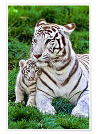 Póster  White Tiger, Mother with Cub - Gérard Lacz