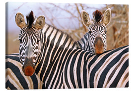 Lienzo  Zebra friendship, South Africa - wiw