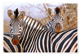 Póster Zebra friendship, South Africa