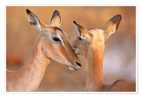 Póster Impala friends, South Africa