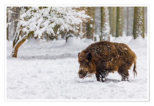Póster Boar in the snow