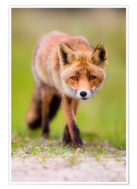 Póster red fox