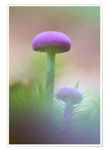 Póster Soft macro of two purple mushrooms