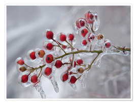 Póster  Rosehip covered with ice