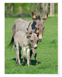 Póster  Donkey mum and her little baby