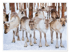 Póster  Reindeer in winter in Lapland
