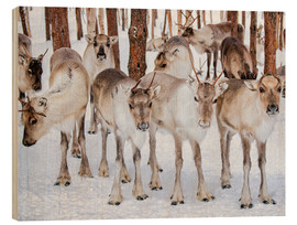 Cuadro de madera  Reindeer in winter in Lapland