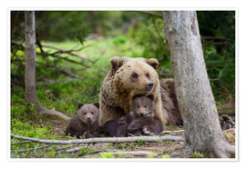 Póster Brown bear with cubs in forest