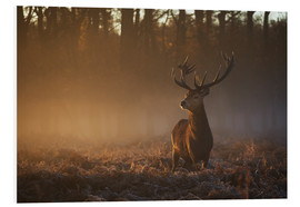 Cuadro de PVC  Stag in autumn sunrise - Alex Saberi