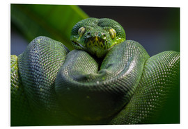 Cuadro de PVC  green tree python - WildlifePhotography
