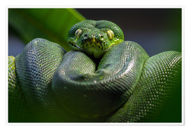 Póster  green tree python - WildlifePhotography