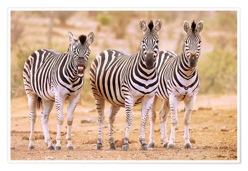 Póster Three Zebras, one is so tired