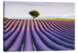 Lienzo  Lavender field and tree at sunset, Provence - Matteo Colombo