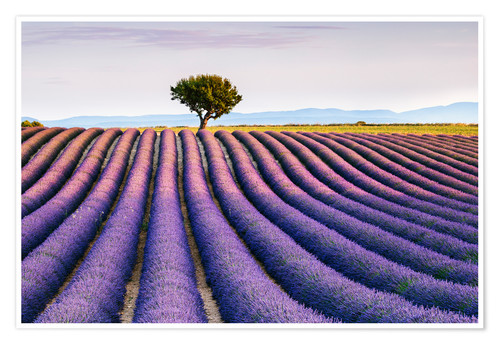 Póster Lavender field and tree at sunset, Provence