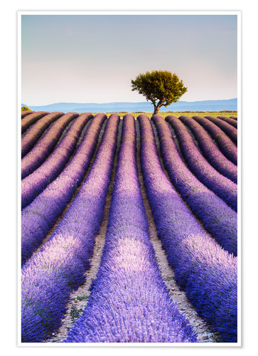 Póster Tree in a lavender field, Provence
