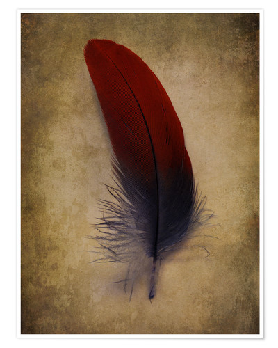 Póster Blue and red feather