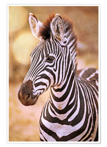 Póster Young Zebra, South Africa