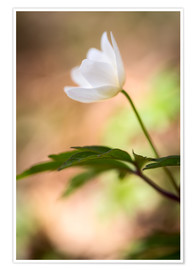 Póster Wood anemone - blooming with soft background