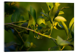 Cuadro de metacrilato  Citrus tree branch with unripe green lemon fruit illuminated by sunlight - Fabio Lamanna