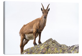 Lienzo  Ibex perched on rock isolated on white background - Fabio Lamanna
