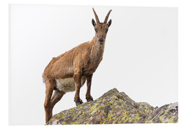 Cuadro de PVC  Ibex perched on rock isolated on white background - Fabio Lamanna