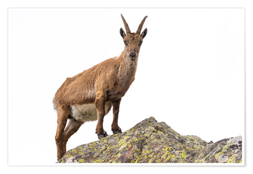 Póster Ibex perched on rock isolated on white background