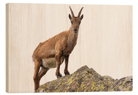 Cuadro de madera  Ibex perched on rock isolated on white background - Fabio Lamanna