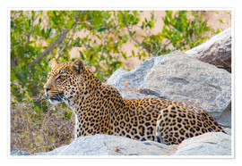 Póster Leopard between rocks close up Kruger National Park, South Africa