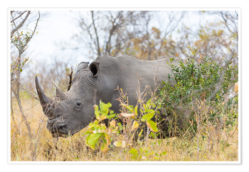 Póster Rhino grazing in the bush, Kruger National Park, South Africa