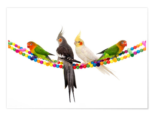 Póster Lovebirds and cockatiels
