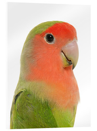 Cuadro de metacrilato  Cute peach-faced Lovebird