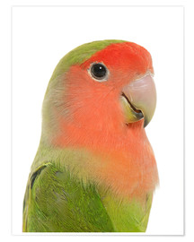 Póster Cute peach-faced Lovebird