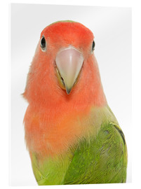 Cuadro de metacrilato  Sweet Peach-faced Lovebird